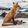 Red Fox Mama With Her Kit 4/27/21