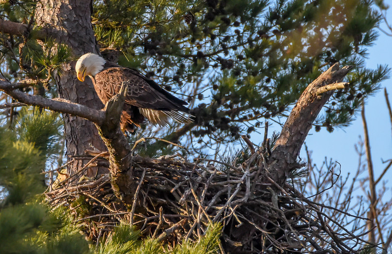 Bald Eagle at Nest at Sunset 4/8/18