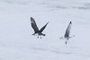 Skua and kitiwake