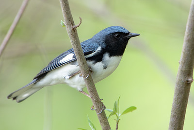 377- Black-throated Blue Warbler
