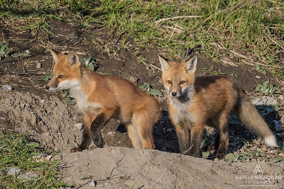 Red Fox (Vulpes vulpes) kits at the den. Ontario, Canada