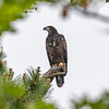 A Juvenile Bald Eagle Perched on a Branch 5/29/19