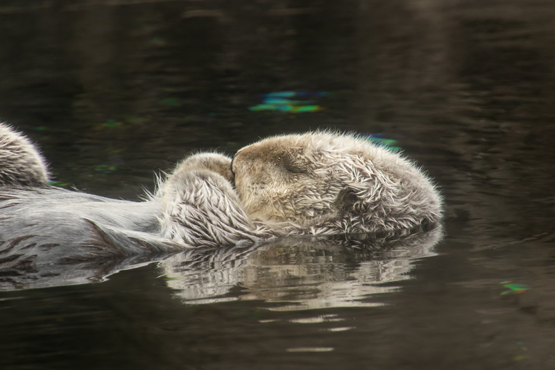 Sleeping Sea Otter floating in water
