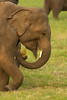 Eating elephant