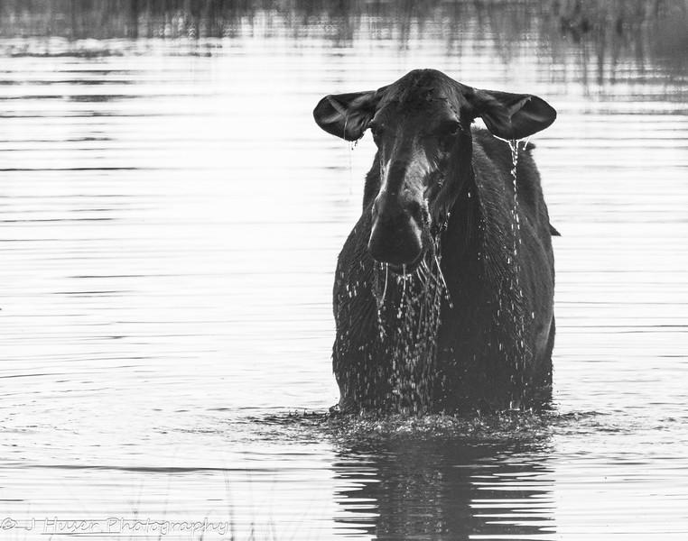 Female moose feeding in a pond