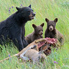 Black Bear's Picnic