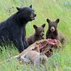 Black Bear's Picnic