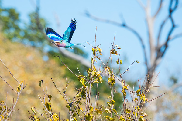 Lilac-Breasted Roller, Botswana