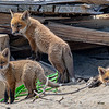 Red Fox Kits 4/27/21