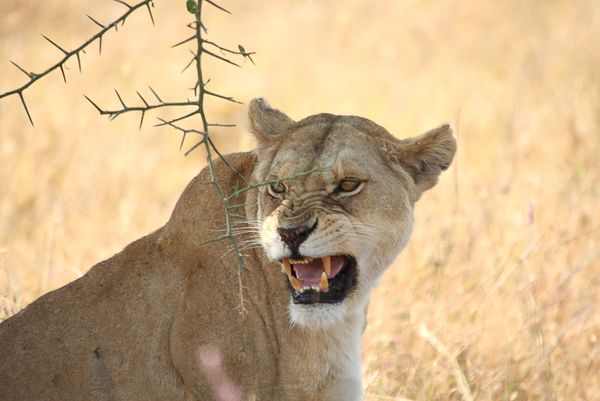 Lioness letting us know she was not happy!