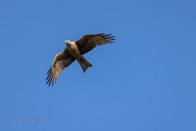 Black Kite (Schwarzmilan)