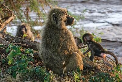 Baboon tending her baby.