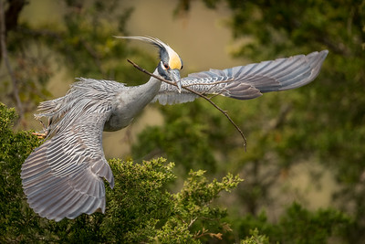 Yellow Crowned Night Heron Flight