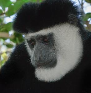 Colobus Monkey.