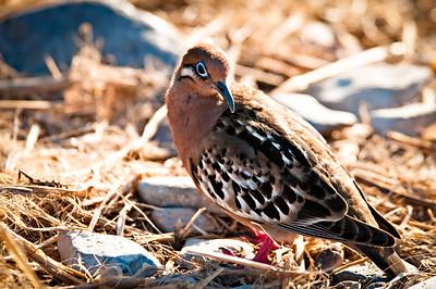 Galapagos dove - Isla Española