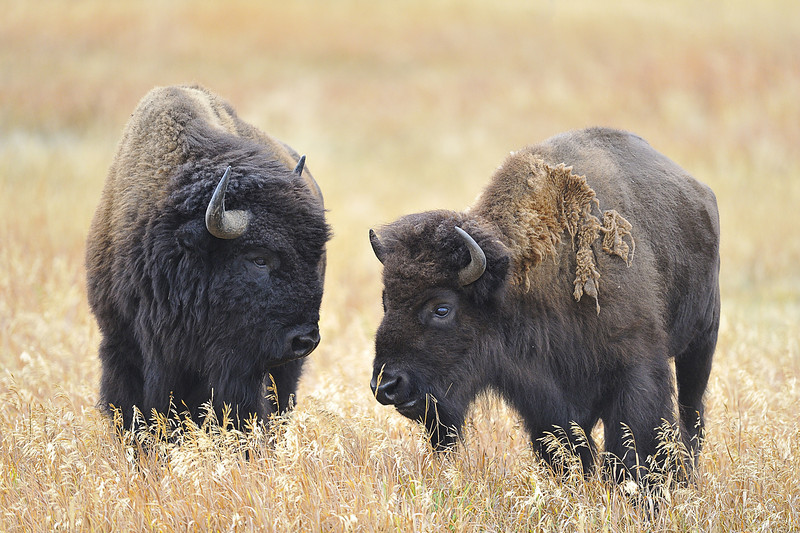 Bison Couple in the Tetons, Wyoming