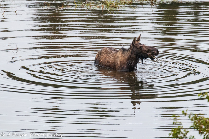 Water ripples around a moose