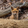 A Red Fox Kit 5/3/20