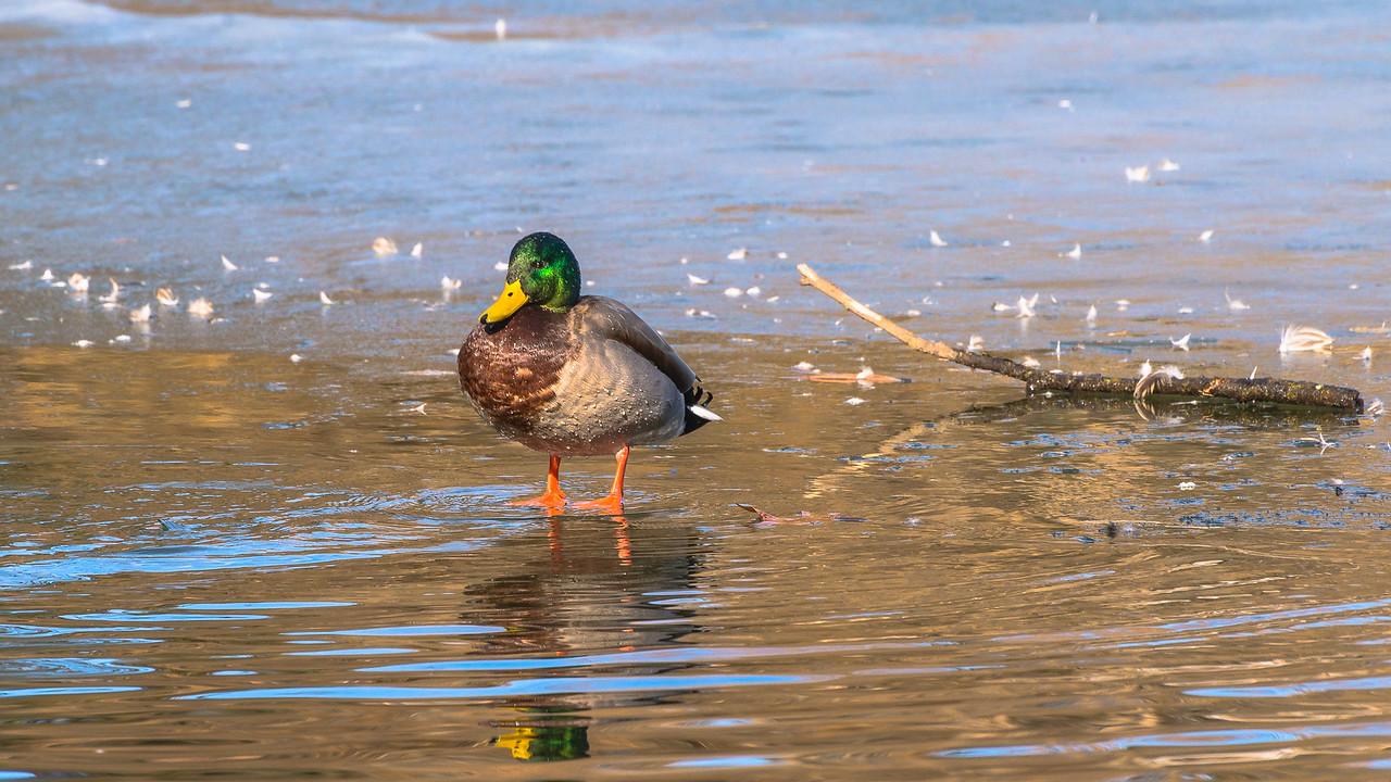 Mallard on thin ice