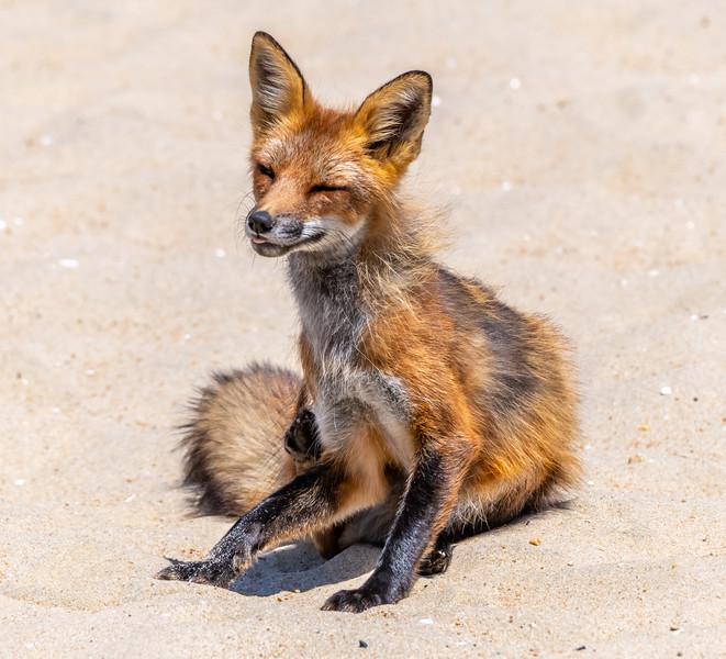 A Red Fox on the Beach in Ocean Grove 6/4/19