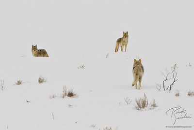 Two Coyotes and a Lone Wolf