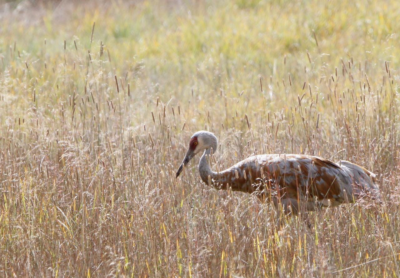 Sandhill Crane - Yellowstone National Park