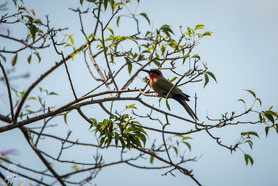 Bee-eater, Red-throated