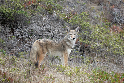 Coyote at Point Reyes