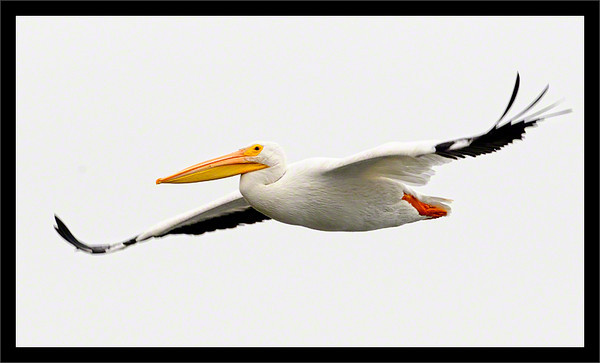 Gliding Pelican  American white pelican coasting in flight  Baylands Preserve Palo Alto, California  03-OCT-2010