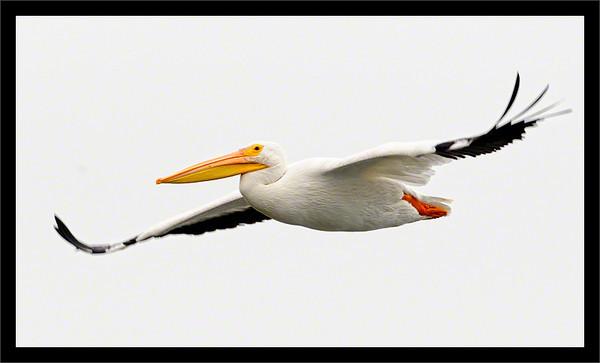 Gliding Pelican  American white pelican coasting in flight  Baylands Preserve Palo Alto, California  03-OCT-2010