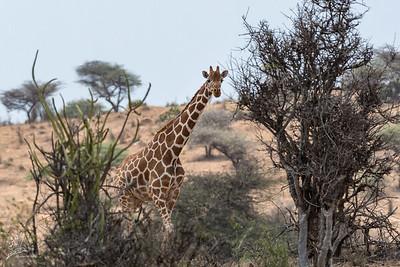 Giraffa camelopardalis reticulata