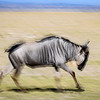 Slow shutter speed pan of wildebeest in Amboseli National Park, Kenya, East Africa