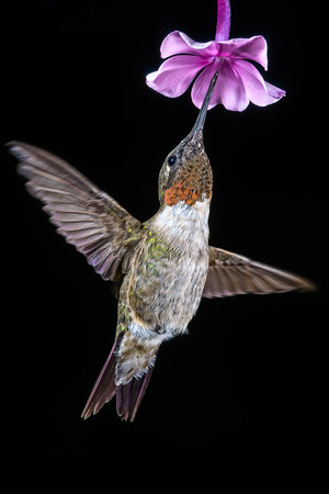 Ruby-throated Hummingbird 7