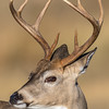 White Tail Deer Buck