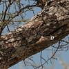Dendropicos namaquus