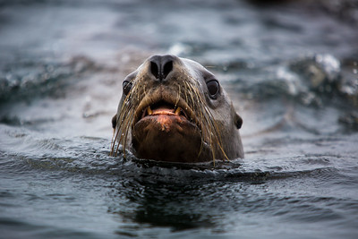 Stellar Sea Lion, British Columbia
