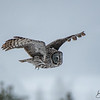 Great Gray Owl_