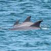 A Pod of Dolphins Passing Ocean Grove Beach 7/8/17