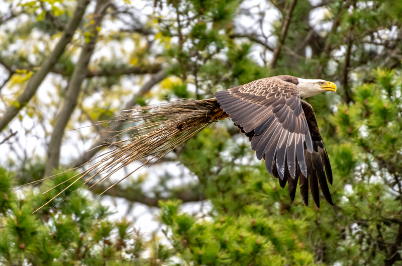 A Bald Eagle Bringing In Nest Material 5/1/19