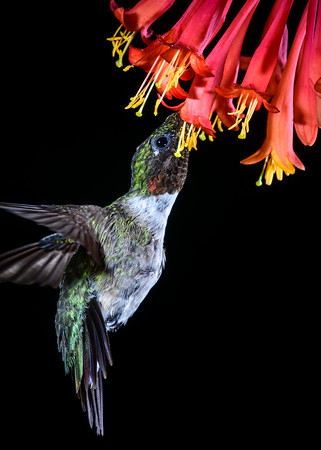 Ruby-throated Hummingbird 1