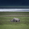 Black rhinoceros (Diceros bicornis) and baby calf resting on the floor of the Ngorongoro Crater, Tanzania, East Africa. There are only 26 black rhinos left in Ngorongoro Crater.