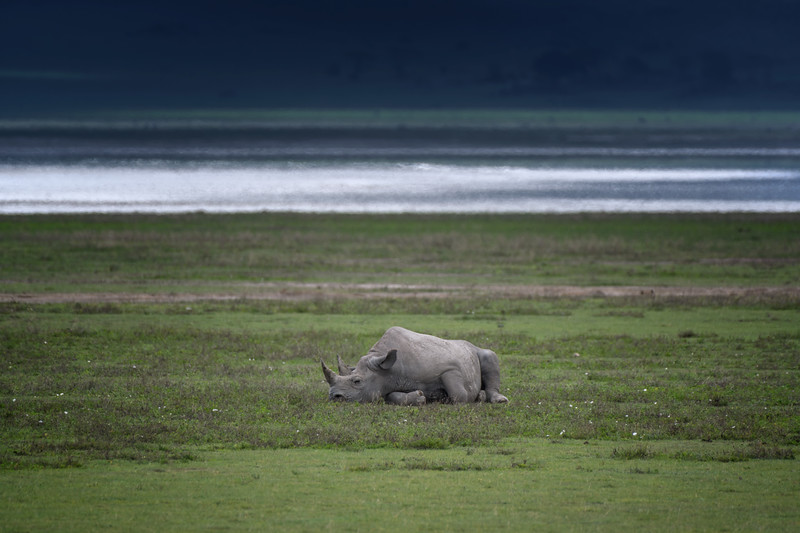 Endangered Black rhinoceros (Diceros bicornis) and baby calf resting on the floor of the Ngorongoro Crater, Tanzania, East Africa. There are only 26 black rhinos left in Ngorongoro Crater.