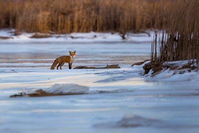 Lone Fox on a Cold Winter Morning