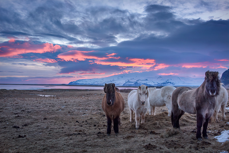 Icelandic horses at sunset in the south of Iceland