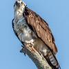 Osprey Perched 4/11/17