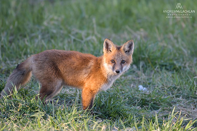 Red Fox (Vulpes vulpes) kit, Ontario, Canada