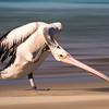 Scratching Pelican.