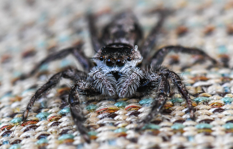 Close Up Over a Jumping Spider 6/2/19