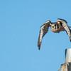 Kestrel take off