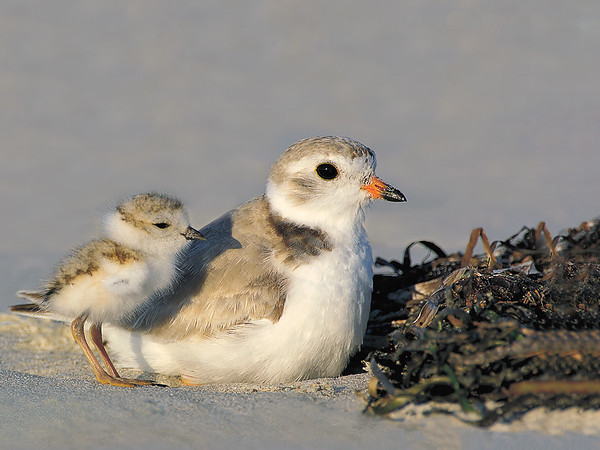 _JFF8393 Piping Plover Adult and Chick
